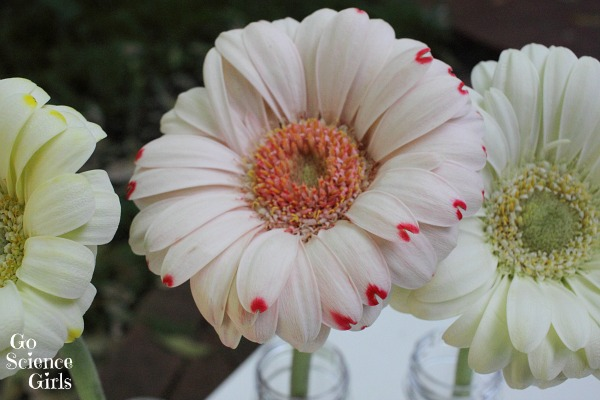 How to change the colour of a gerbera flower