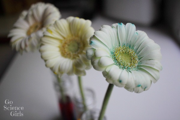Learning about how flowers absorb water, and making pretty colourful flowers with science