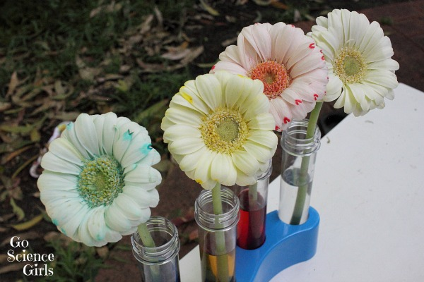 Colour changing flowers experiment go science girls changing the colour of flowers with science mightylinksfo
