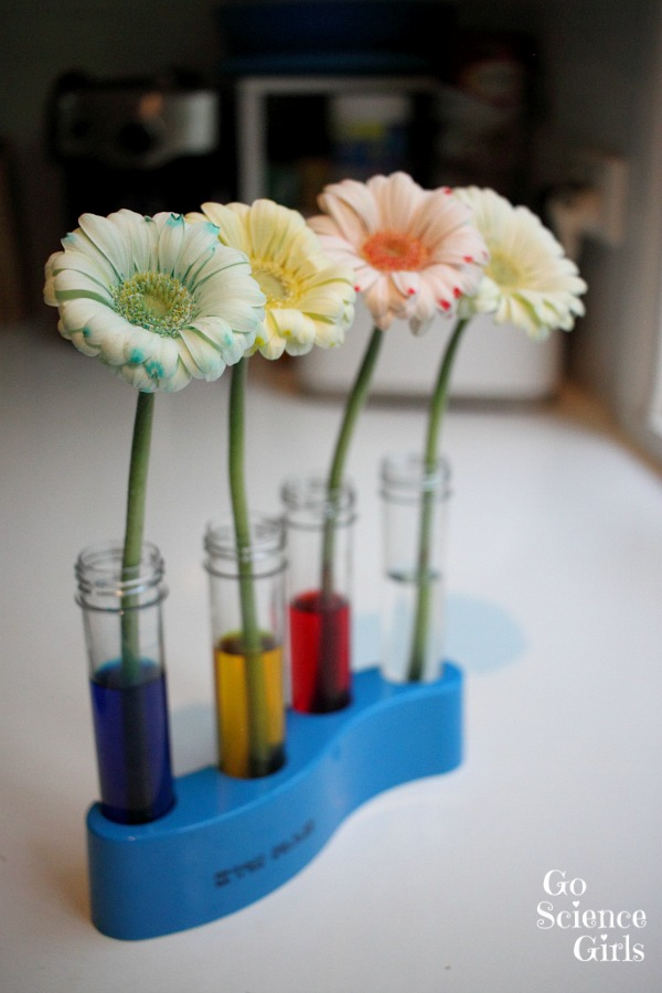 how to change the colour of flowers - fun science experiment for kids
