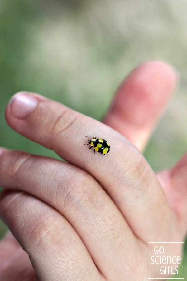 Fungus-eating ladybird