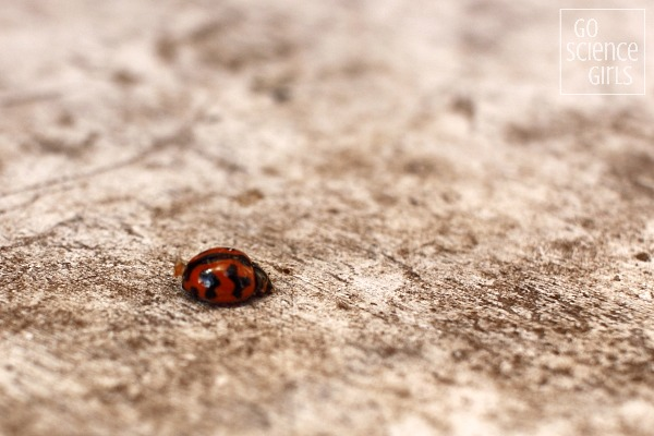 Orange and black Transverse Ladybird