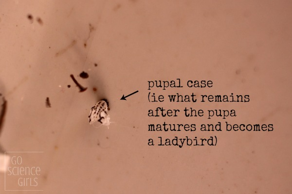 Pupal case of the fungus-eating ladybird