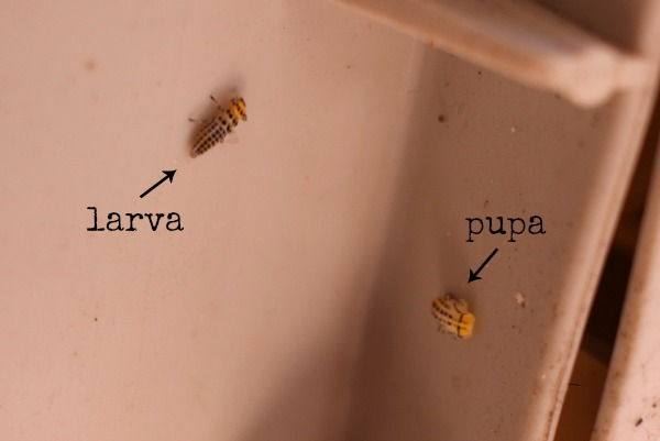 larva and pupa of the fungus-eating ladybird