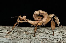 Baby nymph spiny leaf phasmid insect