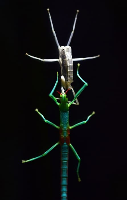 Male spiny leaf phasmid nymph
