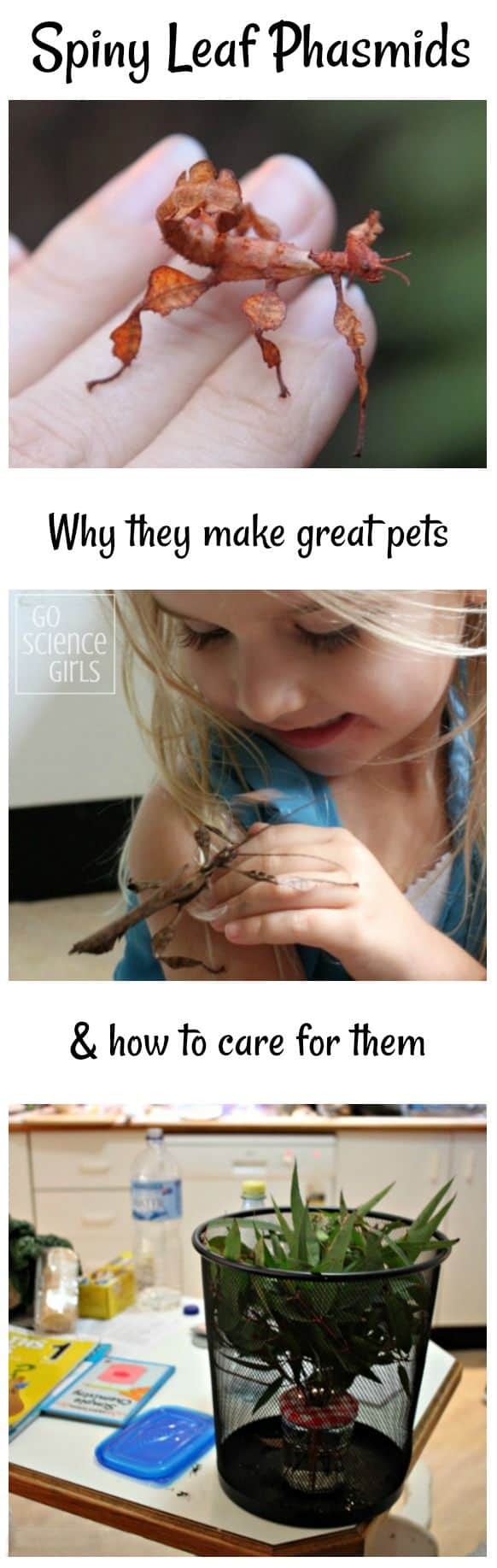 Spiny leaf phasmids make great pets for toddlers