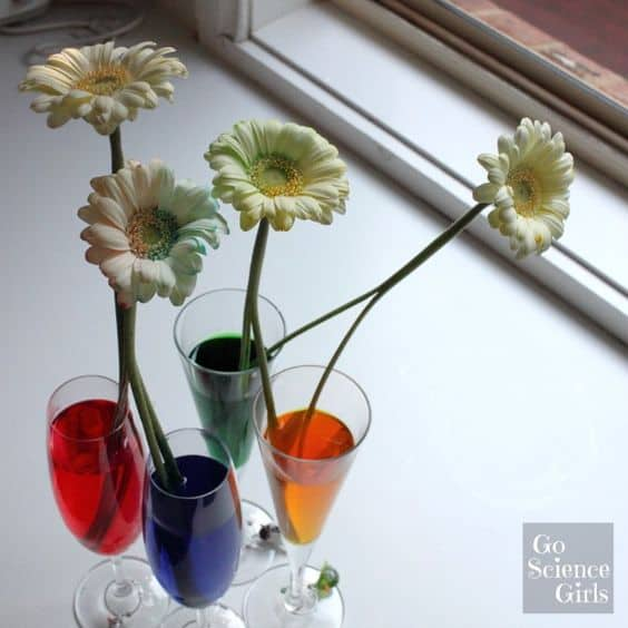 red, blue, green and yellow bi-colour dyed flowers - science for kids