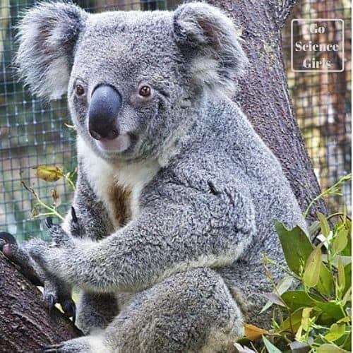 Koalas Port Douglas
