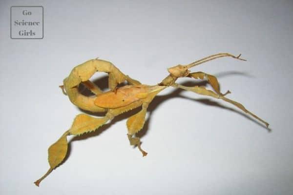 spiny leaf phasmids australian walking stick pet