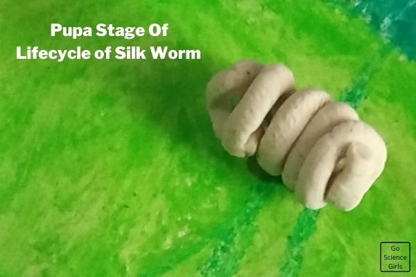 Pupa Stage Of 3D Model SilkWorm