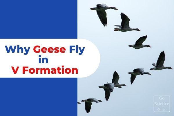 Why Geese Fly in V Formation